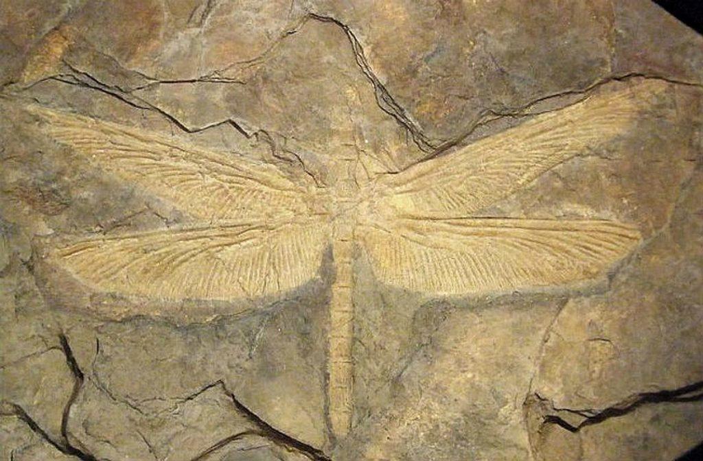Griffenflies (Meganisoptera)