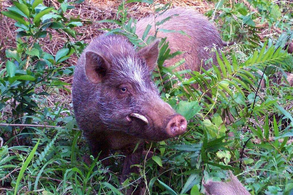 Вануату свиньи