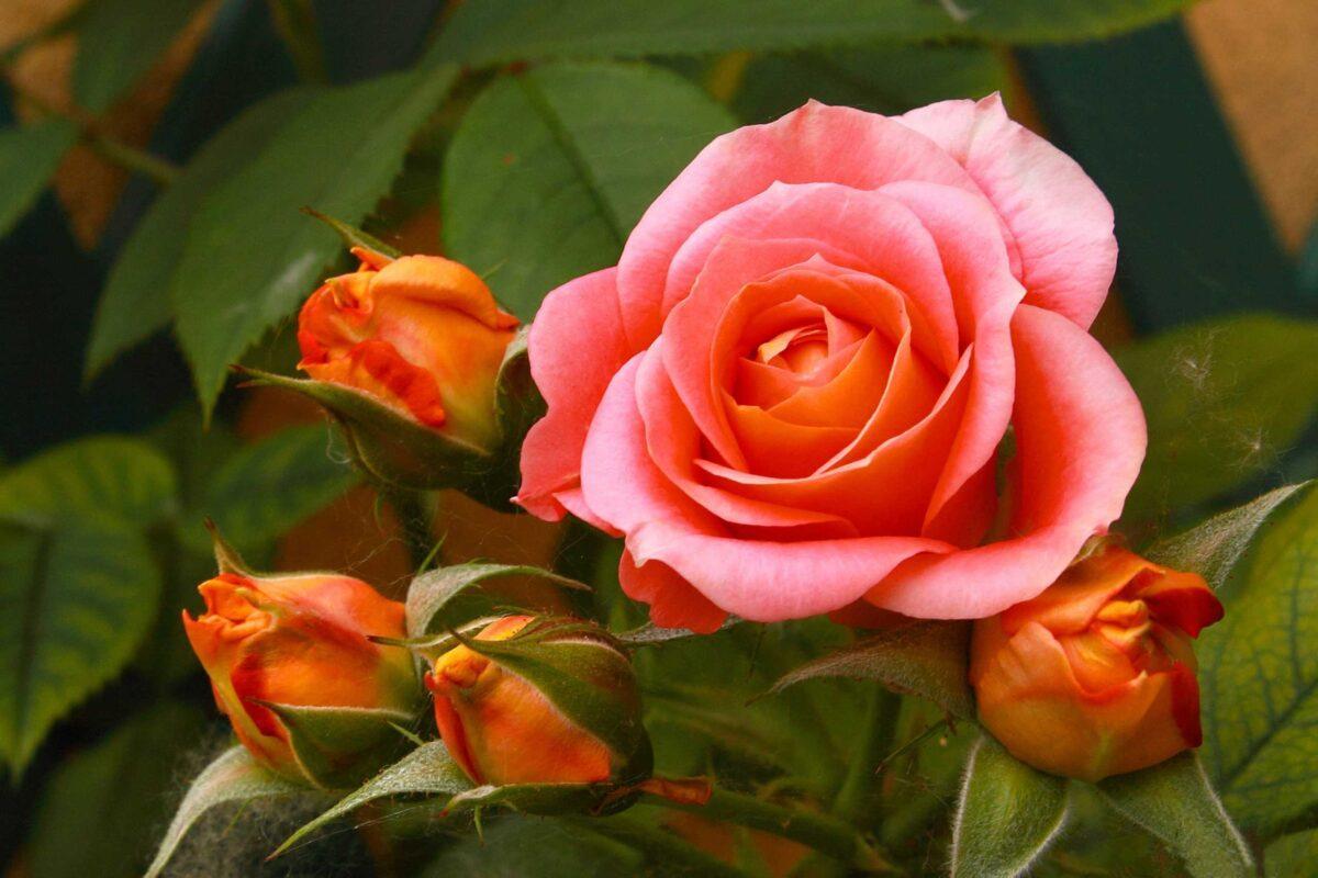 нашел картинки все о розах хорошего качества идеи