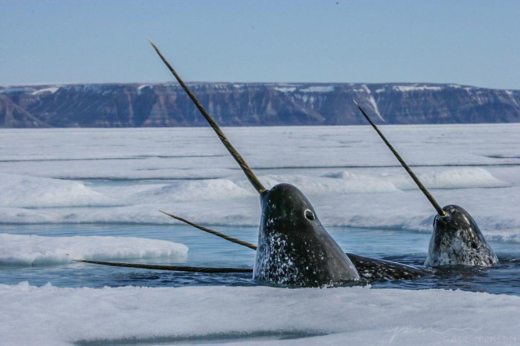 северно ледовитый океан нарвал