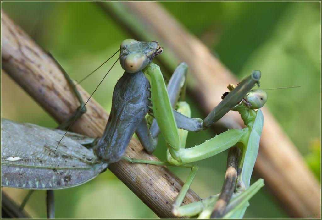 Богомол обыкновенный - Мир животных и растений